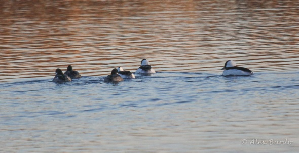 Buffleheads_return